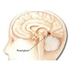 Pineal Gland  -